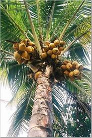 coconut_tree2
