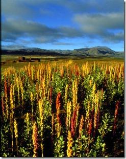 Quinoa-plants